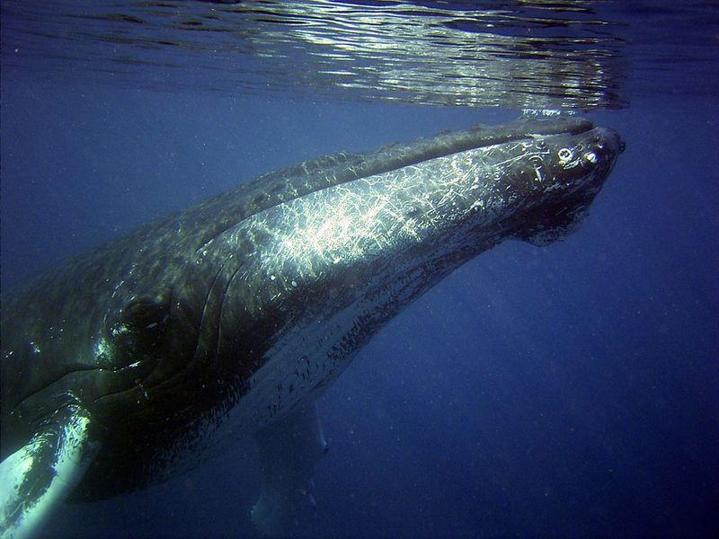 Sie retten einen verletzten Buckelwal auf offener See! Was dann passiert, ist unglaublich!