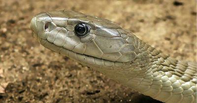 Deshalb ließ sich dieser Mann von der tödlichsten Schlange der Welt beißen