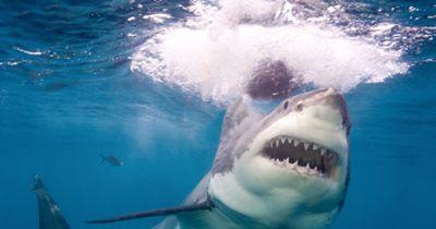 RÄTSEL um den Riesen-Hai endlich gelöst!