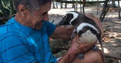Pinguin schwimmt jedes Jahr 8000 km um zu seinem Retter zurück zu schwimmen