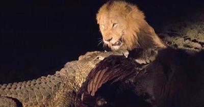 Krokodil VS Löwe - Der aggressive Kampf ums Aas