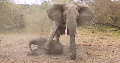 Diese Elefantenmutter versucht ihr betäubtes Baby zu wecken!