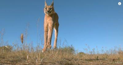 Ihr habt euch schon immer gewundert, warum Katzen stets auf allen Vieren landen?