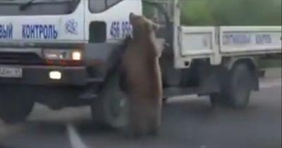 Dieser Bär kontrolliert eine Autobahn!