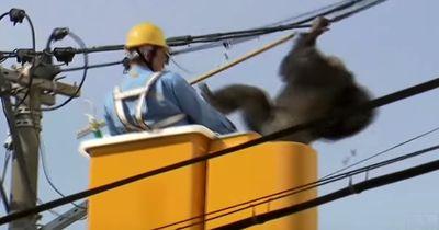Cha Cha der Chimpanse ist aus dem Zoo geflohen!