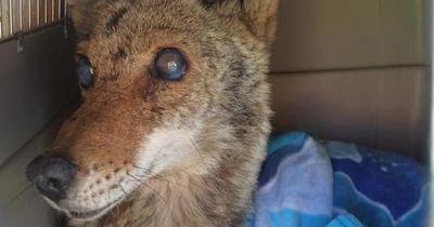 Blind, verletzt und fast tot: Doch der Kojote überraschte plötzlich alle...