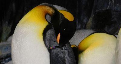 Schwule Pinguine können endlich zusammen leben