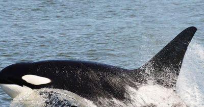 Nur wenige Meter vom Strand entfernt: Killerwal greift Haie an!