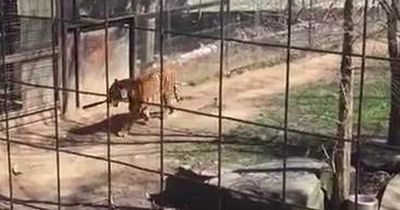 Wie dieser Zoobesuch beim Tigergehege endet...