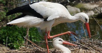 Dieser Storch fliegt jedes Jahr 13.000km für seine Liebste