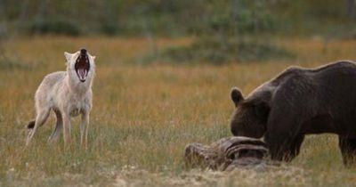 Ein Wildtierfotograf konnte seinen Augen nicht trauen, als er diesen Wolf und diesen Bären sah