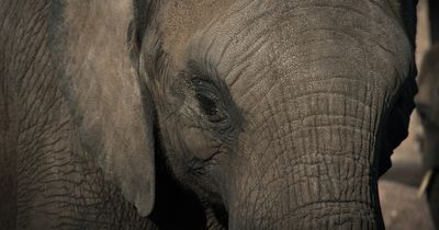 Elefantin musste jahrelang auf der Straße Kunststücke aufführen
