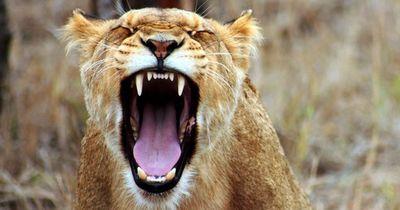 Sie halten diesen riesigen Löwen als Haustier. Das war ein fataler Fehler!