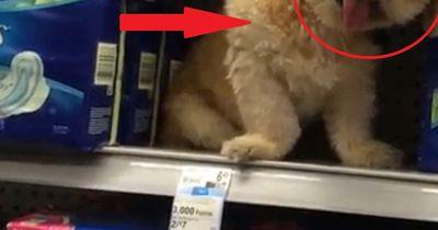 Dieser kleine Hund ist ein viraler Hit
