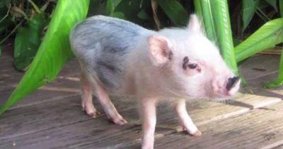 Als sie dieses Schwein kaufte, wusste sie nicht, worauf sie sich einlässt