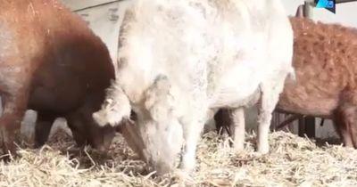 Schafschwein - Früher selten, heute Schinken!