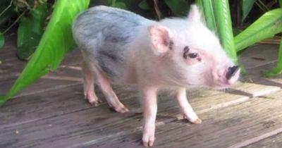 Deswegen musst du dir ganz sicher sein, ob du wirklich ein Minischwein willst!