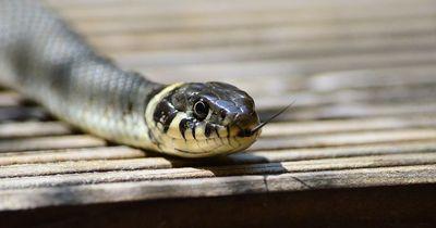 GRAUSAMER Schlangenangriff!