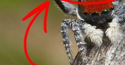 """Die Pfauenspinne - Ist das die """"schönste"""" Spinne der Welt?"""