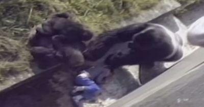 UNGLAUBLICHE Reaktion eines Gorillas, als ein Junge in sein Gehege fällt!