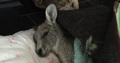 Dieses junge Känguru sollte an seinen Verletzungen sterben!