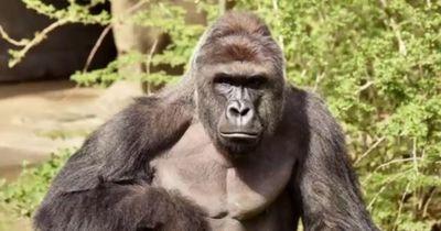 Dieser 4-Jährige fiel in ein Gorillagehege, woraufin....