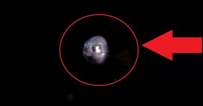 Glaskopffisch: Sein Kopf ist durchsichtig