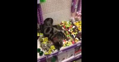 Verirrte Katze testet Spielzeug-Katzenminze in der Tierhandlung