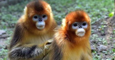 Rührend: Dieser Affe trauert um seine Partnerin