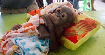 Dieses Orang-Utan-Baby wurde angeschossen zurückgelassen!
