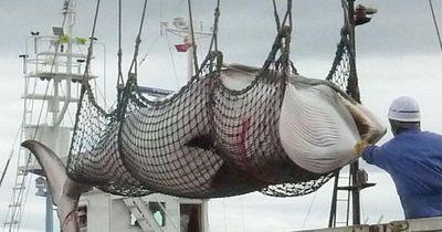 Japan betreibt Massenausrottung von Walen