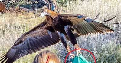 Riesenadler greift Kleinkind während einer Vorstellung an