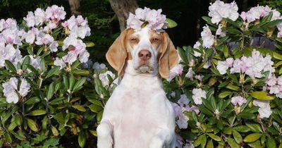 Dieser Beagle ist ein wahrer Verkleidungskünstler!