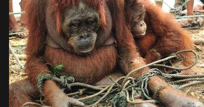 Orang-Utan-Mutter wagte sich mit ihrem Baby in ein Dorf