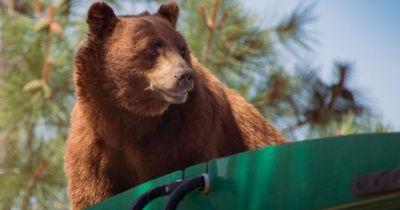 Dieser Bär hat Lust auf eine Fahrt im Müllwagen