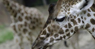 Eine kranke Giraffe wird als Zuchtobjekt auf Reisen geschickt