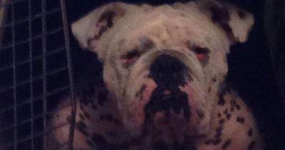 Dieser Hund wurde von einer brutalen Züchterin befreit