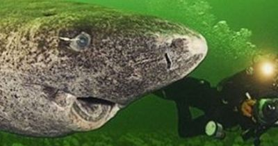 Dieser riesige Tiefsee-Hai lebt ewig