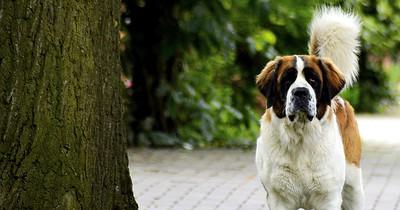 Die 7 größten Hunde der Welt sind gigantisch