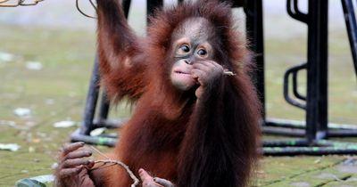 Nach einem tragischen Ereignis findet dieser Orang-Utan einen sehr ungewöhnlichen besten Freund