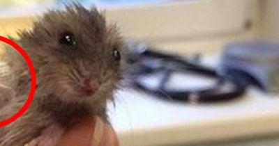 Dieser Hamster hat den kleinsten Gips der Welt!
