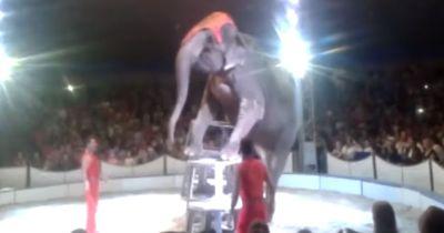 Elefant stürzt bei Zirkusaufführung...