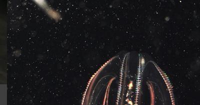 Ein beeindruckendes Mysterium: Die Rippenqualle