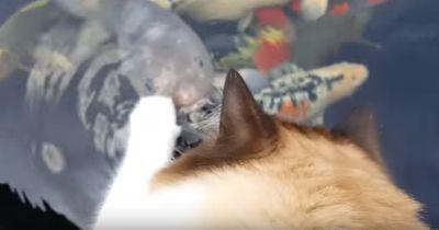 Die Katze schleicht sich an den Fischteich: Jeder erwartete ein Unglück!
