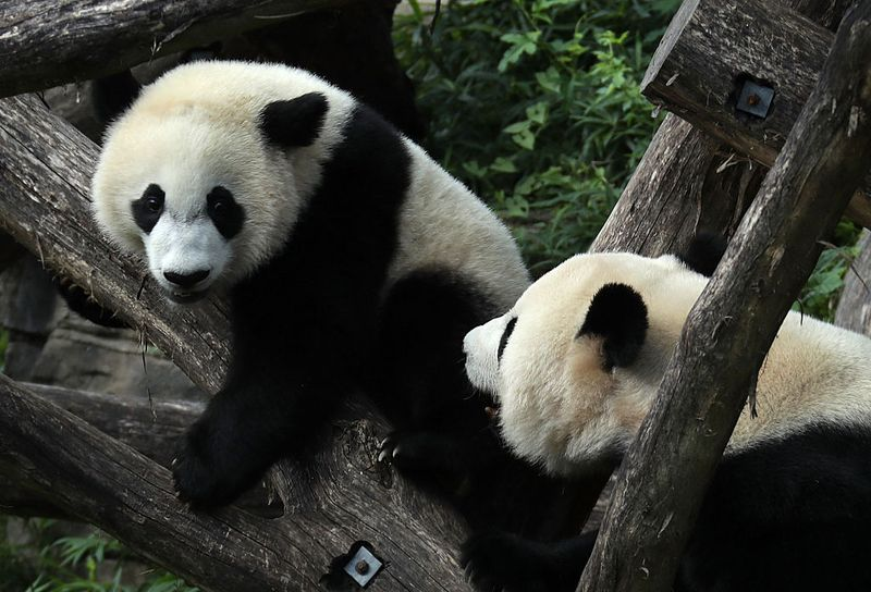 Warum Sind Pandas Vom Aussterben Bedroht