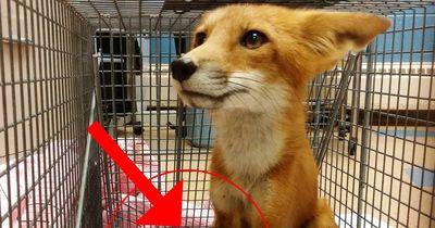 Diese Menschen haben es nicht ausgehalten, einen verletzten Fuchs leiden zu lassen...