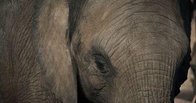 Dieser verwaiste Elefant besucht seine Retter...