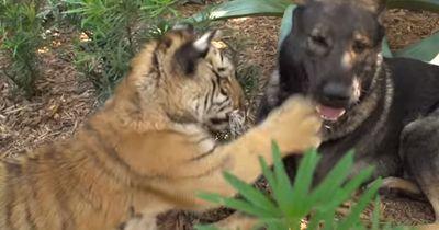 Dieser Hund kümmert sich um exotische Tierbabys