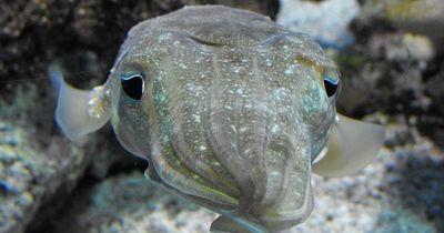 Tintenfische können wohl besser zählen als Babys