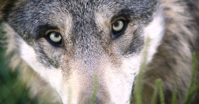 Mann findet toten Wolf in Brandenburg
